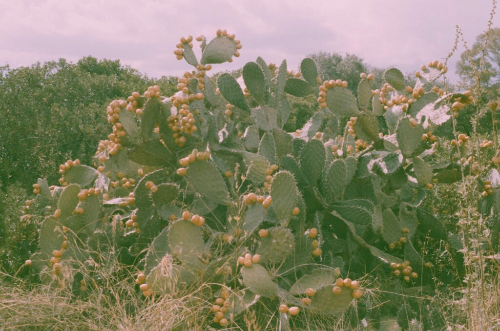 """Ext. Day. Photo of a gigantic cactus on the side of the road full of orange prickly pears on every """"leaf"""". This photo screams wilderness. The film used for this photo was expired so all the colours look paler."""